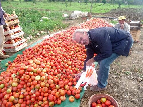 on peut choisir ses tomates, pour 0.40 euros le kg